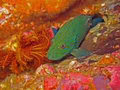 grouper sinin