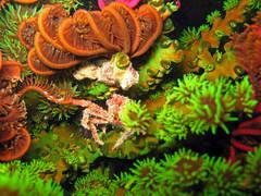 rapu koralleissa