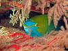 parrotfish yopuulla