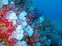 pehmea koralli