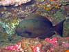 surgeonfish levolla