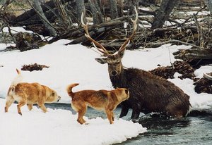 600-411-20030924-river-deer-2dogs.jpg