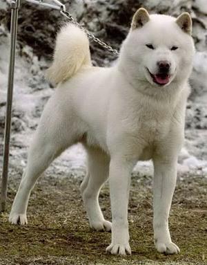Iso Valkoinen Koira