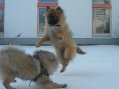 Koirat leikkivät