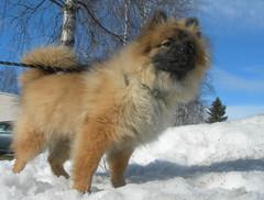 Koira lumessa ...