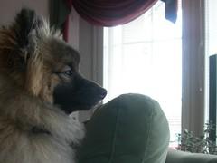 Koira vahtimassa