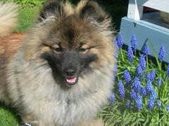 Koira kukkien kanssa