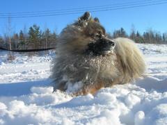 Pienpystykorva piehtaroi lumessa
