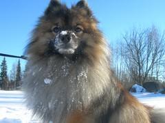 Kleinspitz lumessa