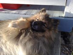 Koira nauttii Aurinko paistaa - mikäs tässä?