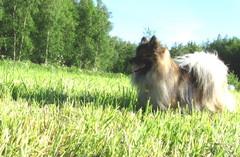Koira pellolla