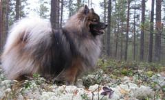 Kleinspitz koira kangasmetsässä