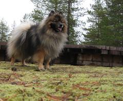Kleinspitz - koira luonnossa