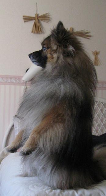 Koira - Tarkkailen