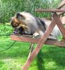 Koira tuolissa