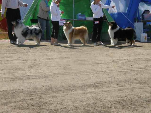 avoimen luokan koiria