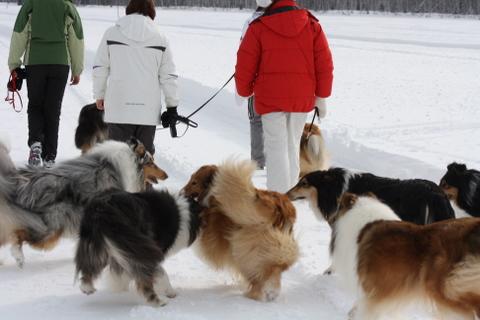 collie-lenkki 2011 jäällä Martinniemen edustalla