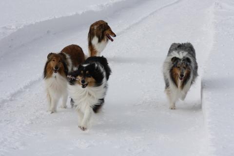 collie-lenkkillä koirilla hauskaa