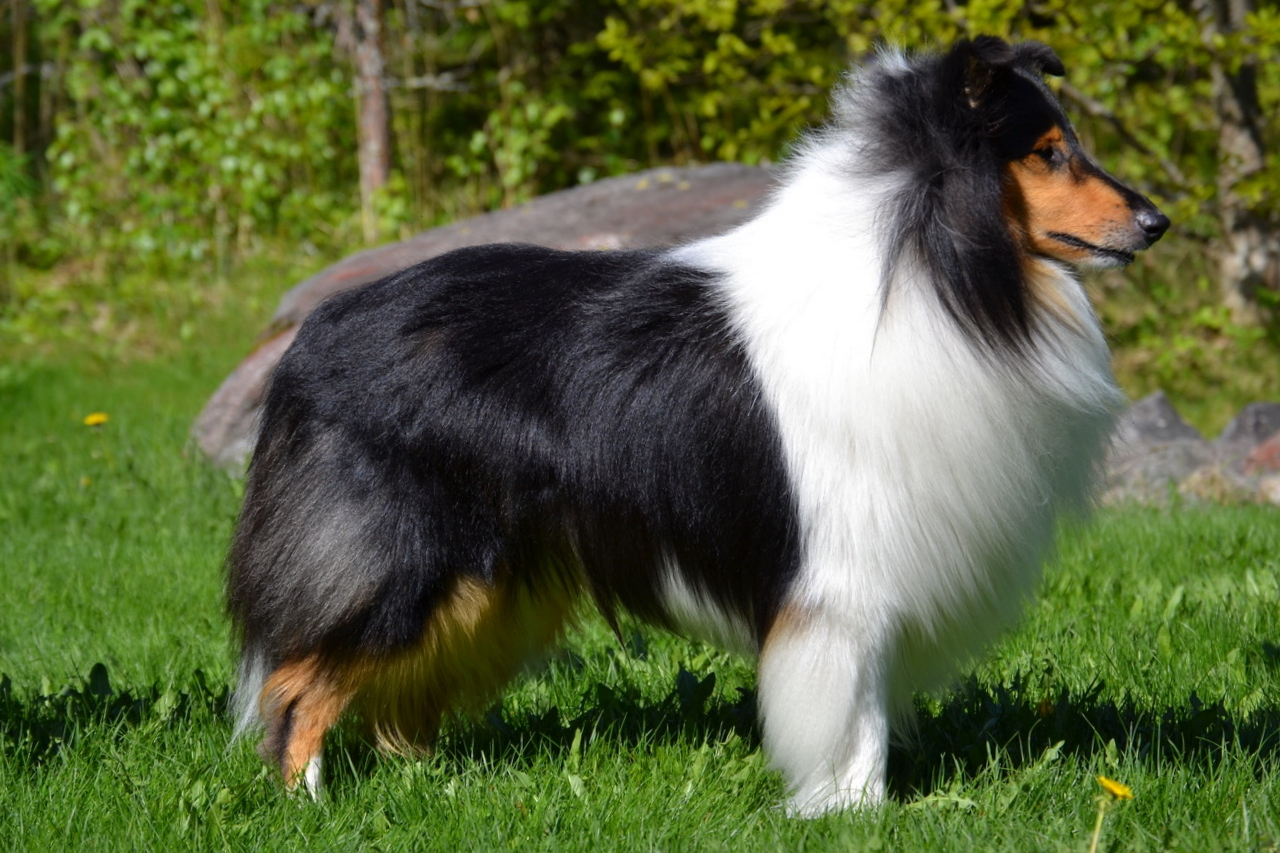 Pitkäkarvainen collie, Saruskan Once In A Lifetime
