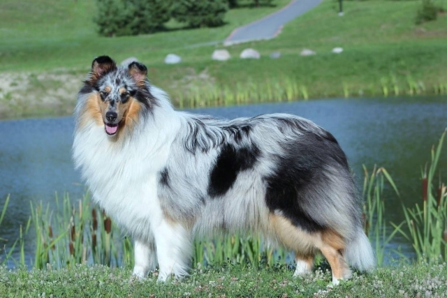Pitkäkarvainen collie, QUE DU PLAISIR OF THE HOLY MOUNTAIN