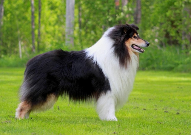Pitkäkarvainen collie, ABSOLUTE DYNAMITE OF THE WINDY LANDS